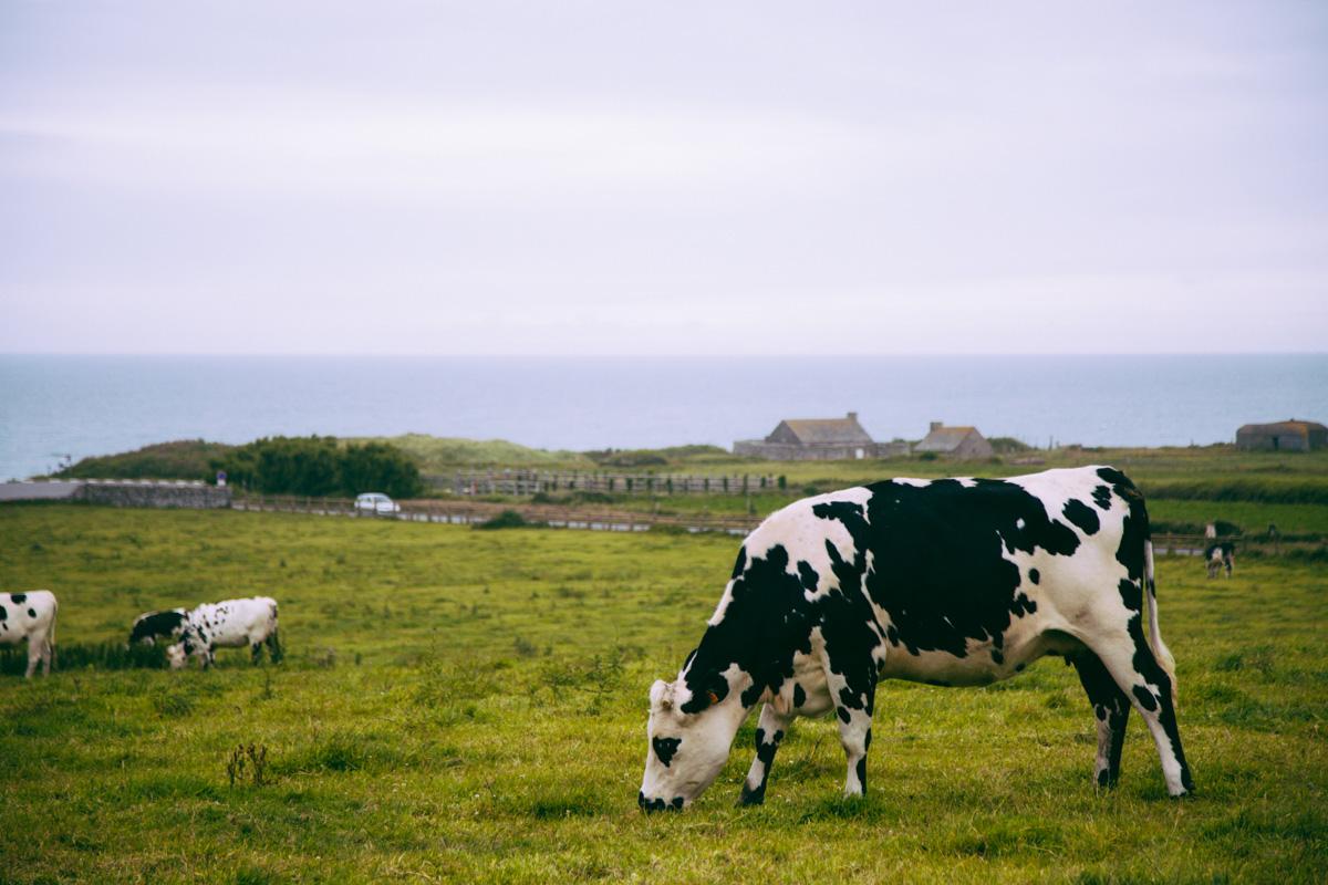 Vache, Anse de Vauville, Cap de la Hague - Cotentin