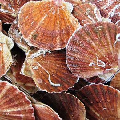 Scallop festivals
